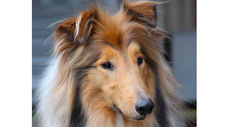 My rough collie Dany who is my Facebook profile picture